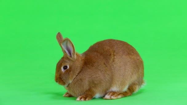 králík (šest měsíců) otočí a na zelené obrazovce se dívá na kameru