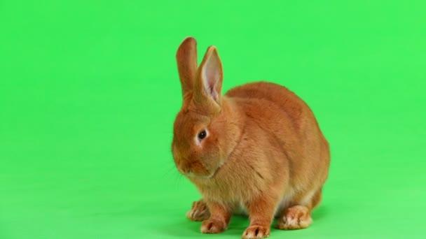 Kaninchen (sechs Monate) wird mit Pfote auf grünem Bildschirm gewaschen