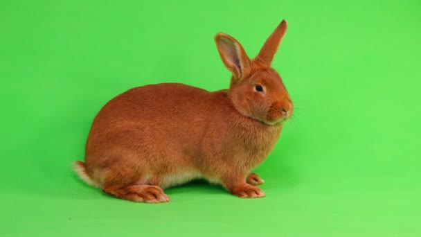 rabbit (six months) on green screen