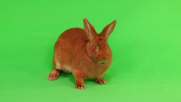 králík (šest měsíců) na zelené obrazovce
