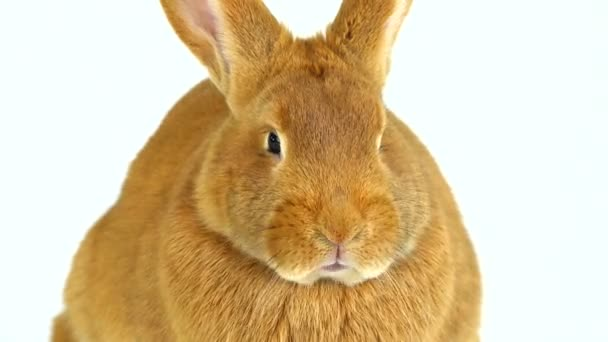 portrait of a rabbit on a white screen (six months old)