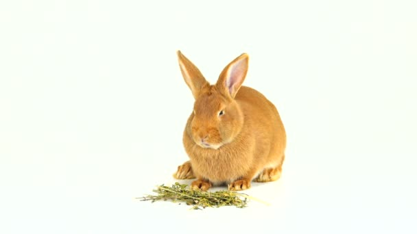 rabbit eating hay on a white screen  (six months old)