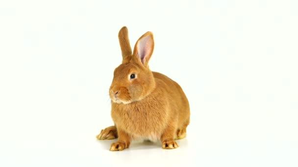 Kaninchen sitzt auf einem weißen Bildschirm (sechs Monate alt))