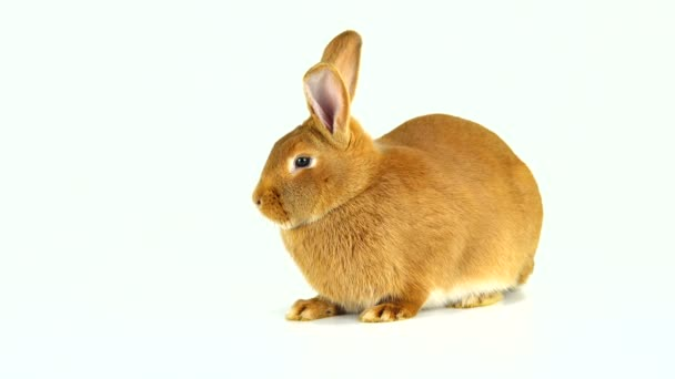 rabbit is sitting on a white screen (six months old)