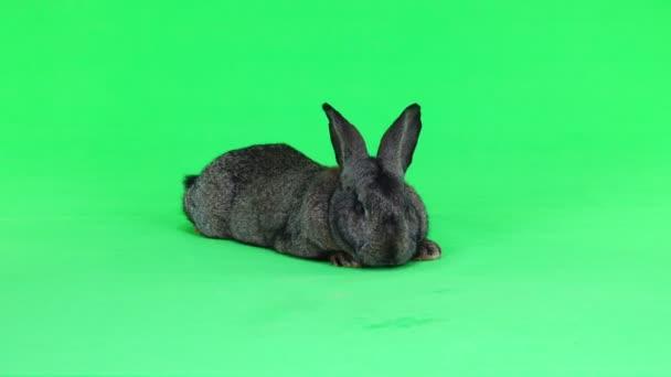 šedý králík izolované na zelené obrazovky (deset měsíců věku) studio zastřelil