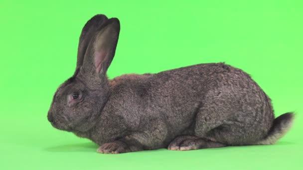 graues Kaninchen isoliert auf grünem Bildschirm (zehn Monate alt) Studioaufnahme