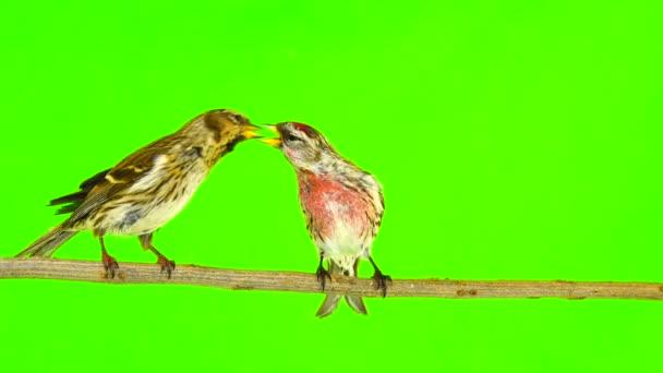 kiss z ptáků dvou Čečetka (Čečetka flammea) na zelené obrazovce