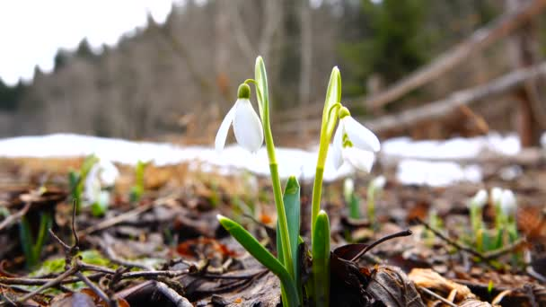 snowdrop in spring with birds singing