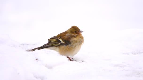 ptáci Pěnkava (Pěnkava) ve sněhu