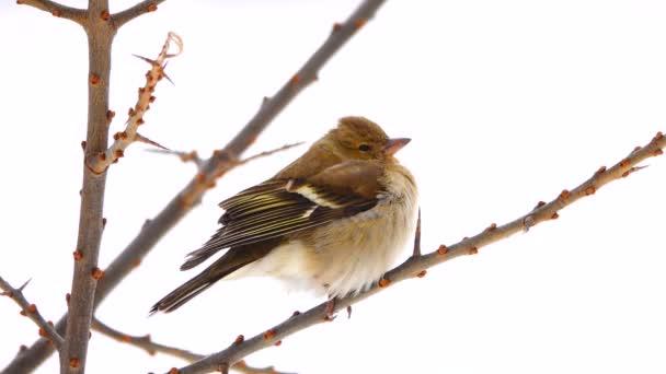 madarak finch (erdei pinty) egy fa ága