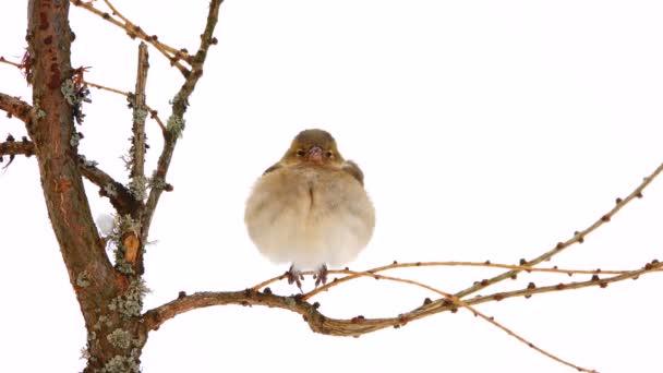 Vogelfink (Buchfink) auf einem Ast