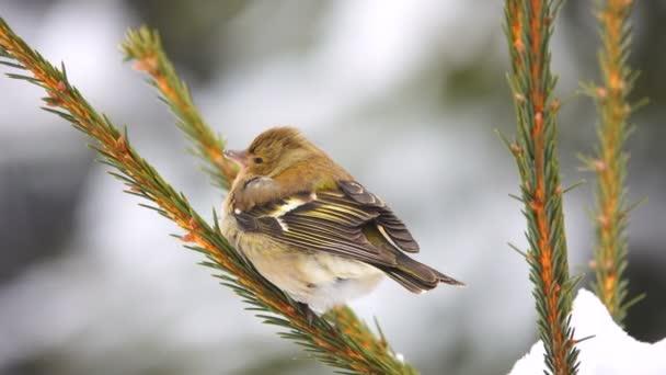 ptáci Pěnkava (Pěnkava) na větev stromu. zvuk