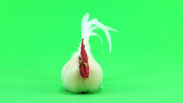 gallo è seduto sullo schermo verde