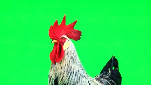 Porträt grauer Hahn grüne Leinwand. natürlicher Klang