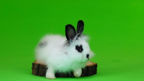 dekorative Kaninchen sitzt auf den Stumpf auf green-screen