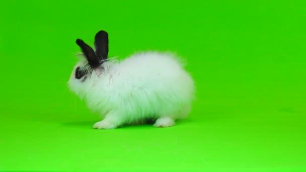 dekorative Kaninchen flieht auf dem green screen