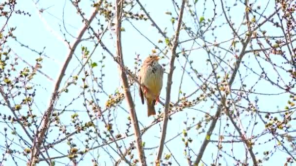 Ortolan Bunting sitting on a tree. sound