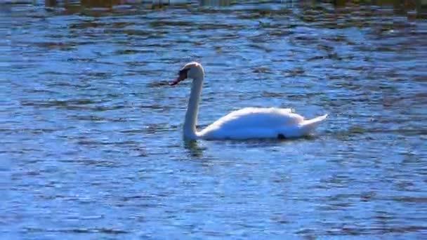 white swan on the lake. sound