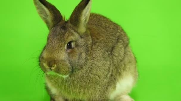 hnědý králík na zelené obrazovce (tři měsíce starý) studio zastřelil