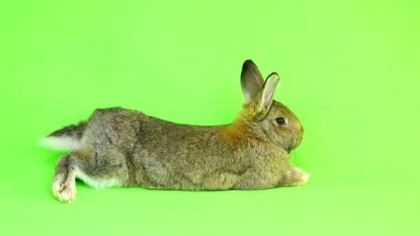 rabbit lies on the green screen (three months old) studio shot