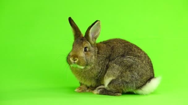 mosse di coniglio marrone on schermo verde (tre mesi) isolate