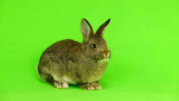 Brauner Hase isoliert auf green-Screen (drei Monate alt) Studio gedreht