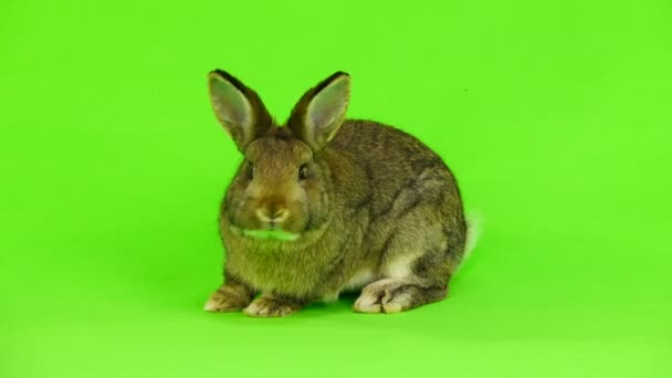 coniglio del Brown on schermo verde (tre mesi) isolato