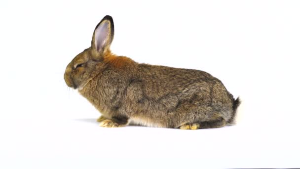 rabbit on a white screen (three months old)