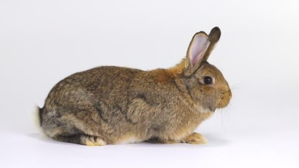 žvýkání králík na bílé plátno (tři měsíce starý)