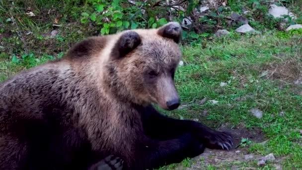 Egy barna medve közeli portréja.