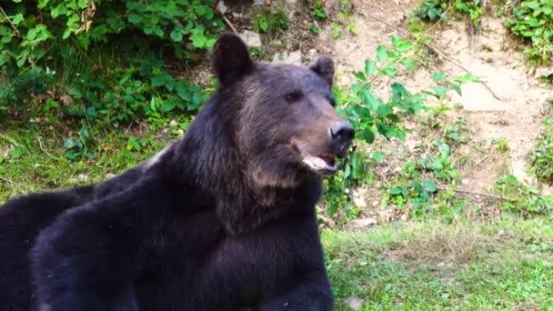 portrét medvěd hnědý v přírodě.