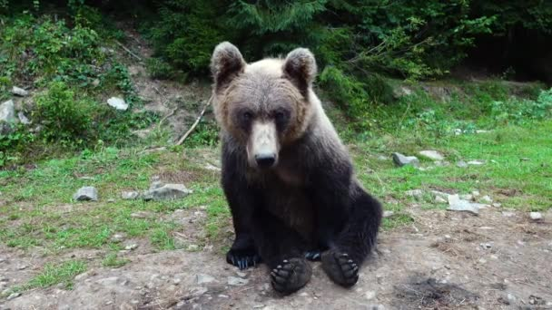 An embarrassed brown bear is looking at the camera in the wild.