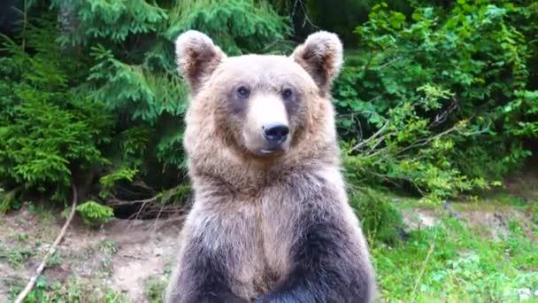 A medve összehajtja a lábát és a kamerába néz..