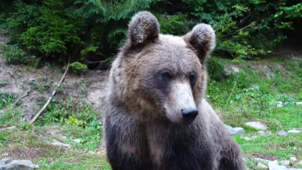 A barna medve a vadonban portréja