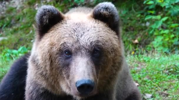 Portrait of a brown bear in the wild