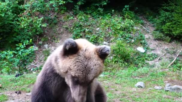 The bear scratches its side with its paw