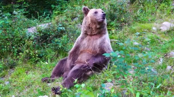 A medve a mancsával vakarja az oldalát..