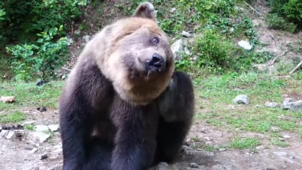 A medve a mancsával vakarja az oldalát.