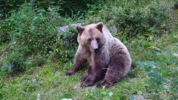 Medvěd hnědý v divočině se dívá do kamery