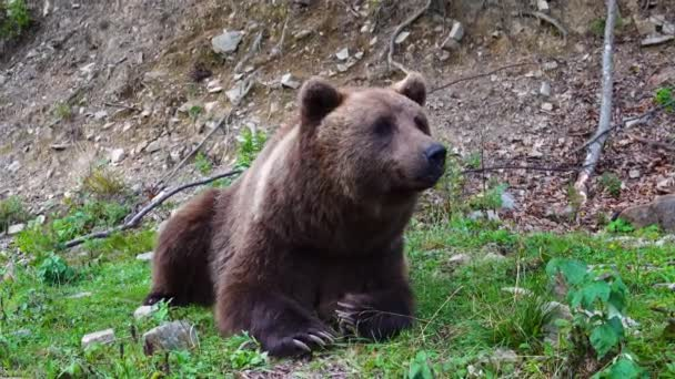 A huge brown bear lies on the grass and looks at the camera