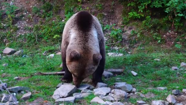 Egy medve élelmet keres a kövek között.