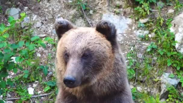Medvěd hnědý očichává svou kořist