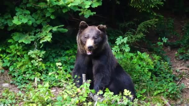 Černý medvěd na pozadí lesa