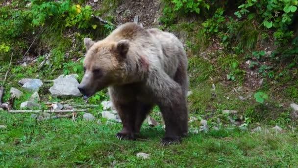Medve és legyek, melyek medvéket kísértenek az erdőben.