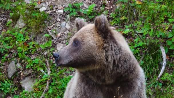 Medvěd se dívá různými směry.