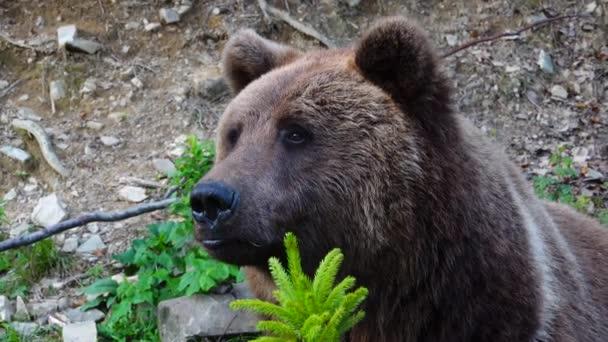 Egy hatalmas barna medve lesben áll.