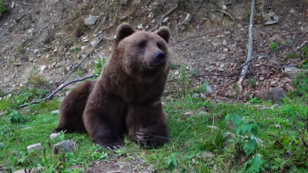 A huge brown bear is engaged in fitness on green grass.