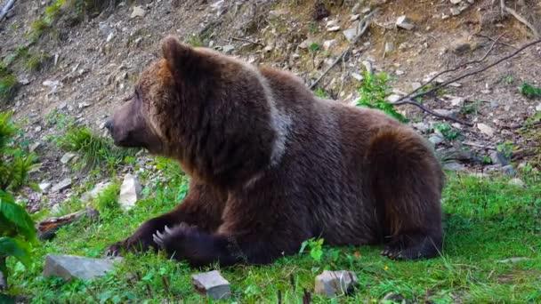 Huge brown beautiful bear eat grass