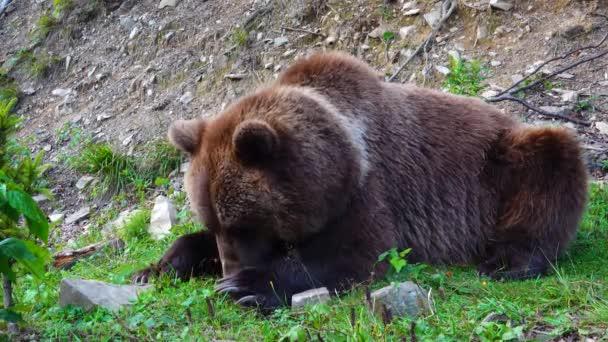 Obrovský hnědý krásný medvěd jíst trávu