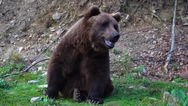 Obrovský hnědý krásný medvěd jíst trávu.